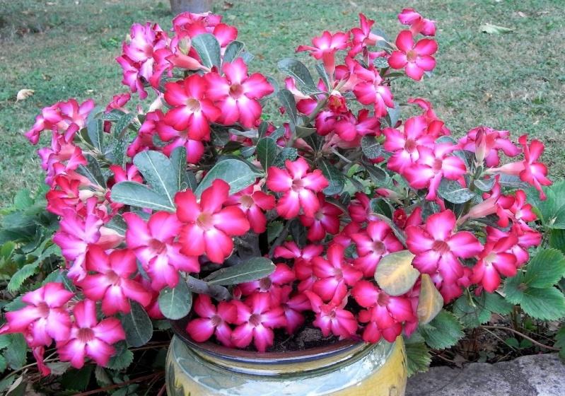 Sauvage sud africaine: Adenium obesum  Copie_30