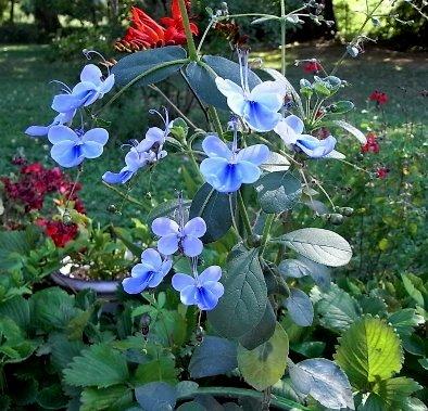 mon Clérodendron ougandais à fait ses premières fleurs - Page 2 Flore_11