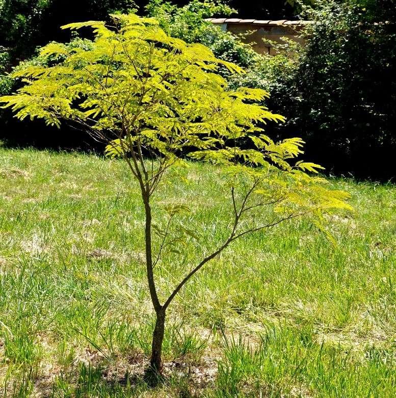 Albizia(ou arbre a soie) - Page 2 Juin_221