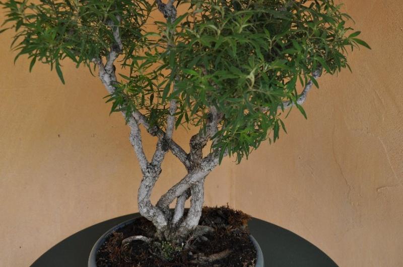 Un joli bonsaï pour Papy - Page 2 Juin_226