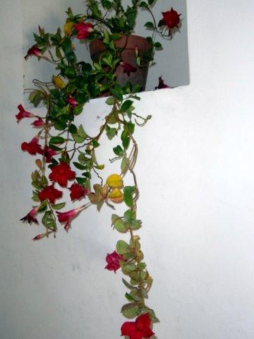 Gloriosa Rothschildiana Octobr17