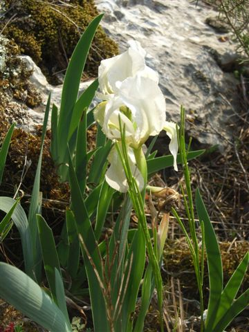 Iris reticulata - Page 2 Rimg0410