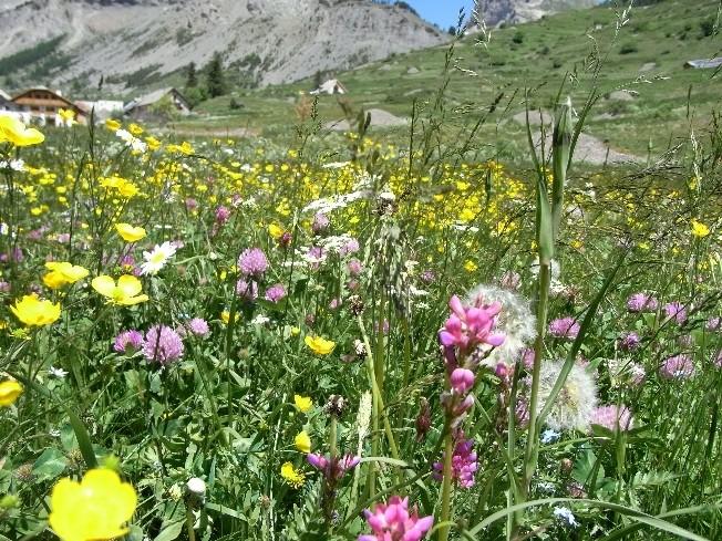 Fleurs champetres Rimg4412