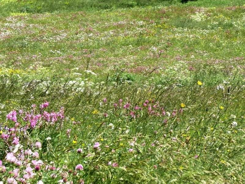 Fleurs champetres Rimg4414