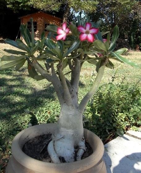 Sauvage sud africaine: Adenium obesum  Rimg6910