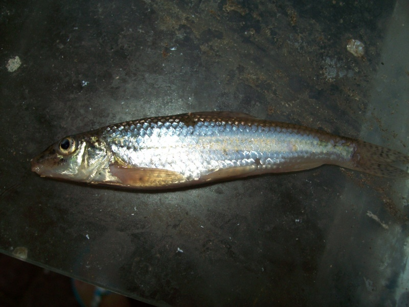 Qu'est ce que ce poisson ? 103_1612