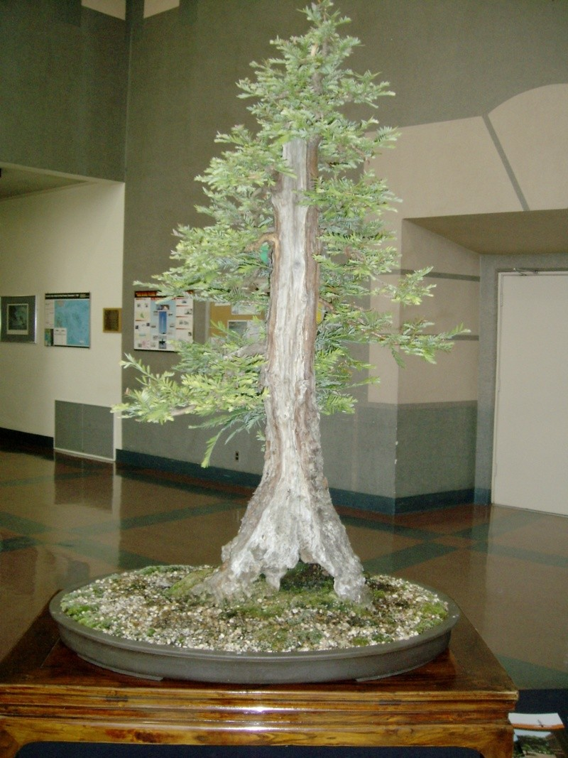 sequoia - Sequoia Sempervirens Bonsai12