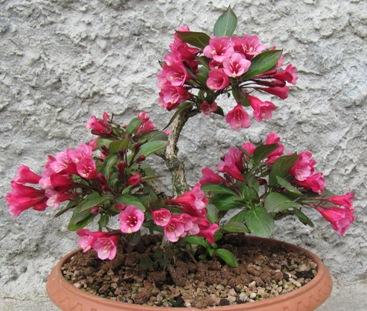 Weigelia in fiore Immagi15