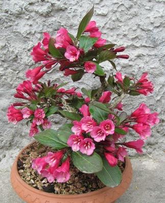 Weigelia in fiore Immagi18