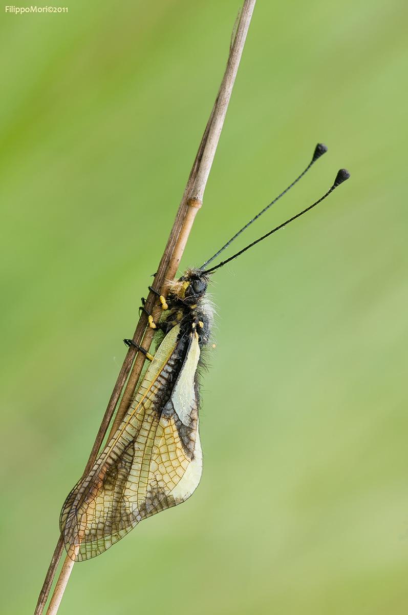 Libelloides Coccajus Ascala10