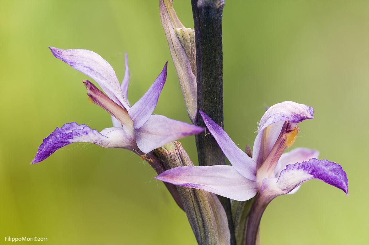 Limodorum abortivum Limodo10