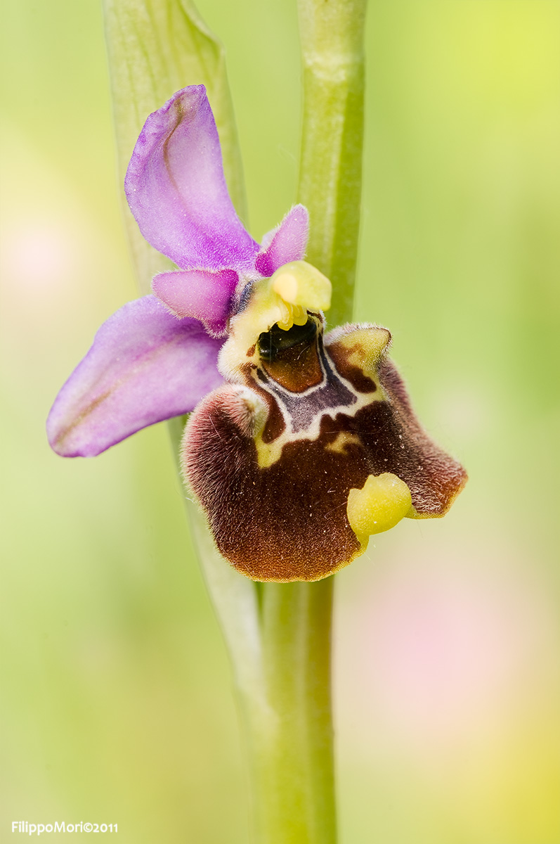 Ophrys fuciflora in rosa.. Ophrys15