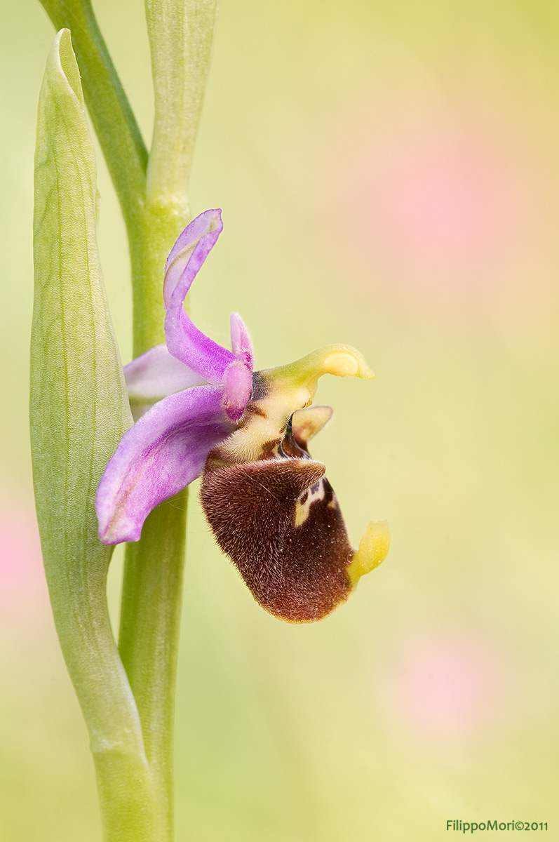 Ophrys fuciflora in rosa.. Ophrys16