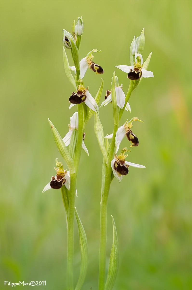 Ophrys apifera Oprysa10