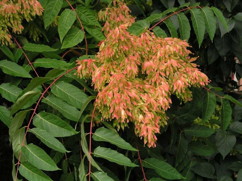 Preparati a base di piante  per difendere le piante dai parassiti Ailant10