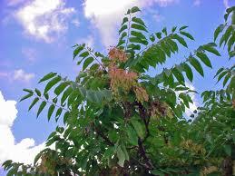 Preparati a base di piante  per difendere le piante dai parassiti Images10