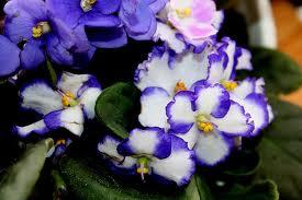 Moltiplicazione della violetta africana Images11