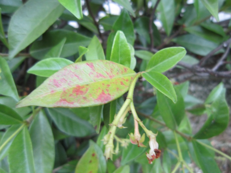 [RISOLTO: colorazione invernale foglie Rincopspermo] Siepe malata Img_2814