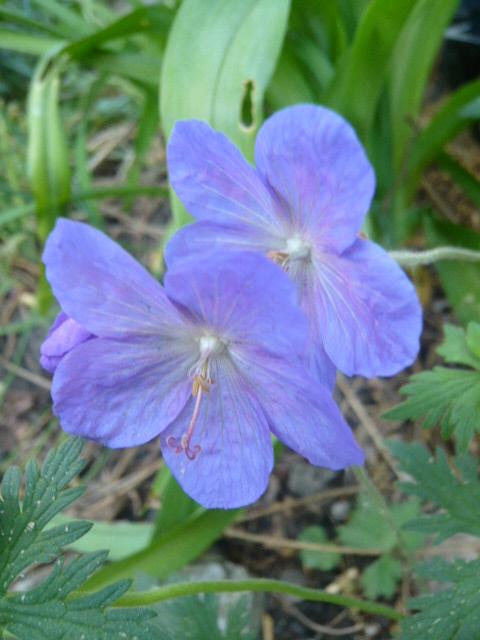 deux géraniums bleus Gerani10