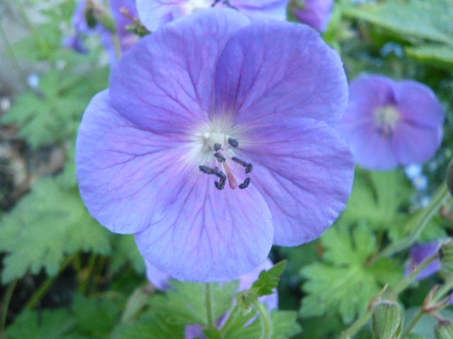 deux géraniums bleus Gerani13