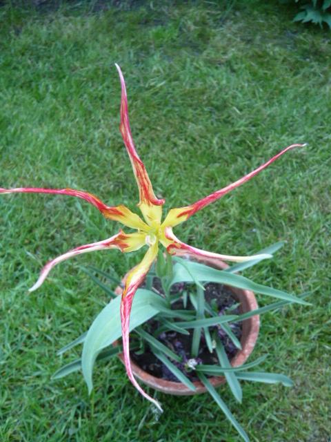 Tulipa acuminata T_acum10