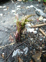 Rheum palmatum Pivoin11