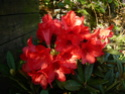 Je n'aime pas les rhododendrons! Rhodo_11