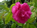 rase-motte à identifier Rosa_110