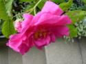 rase-motte à identifier Rosa_210