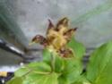 Tricyrtis Tricyr10