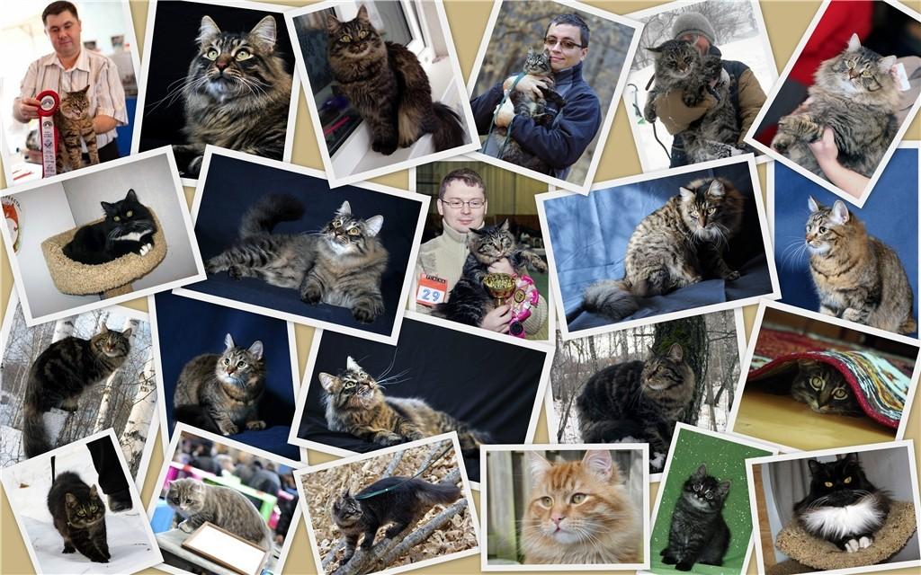 Форум о сибирских кошках