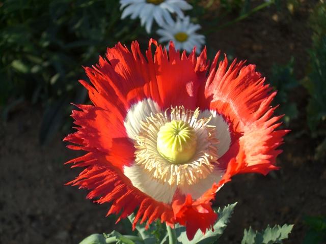 Quelques floraisons de mon jardin Cimg3510