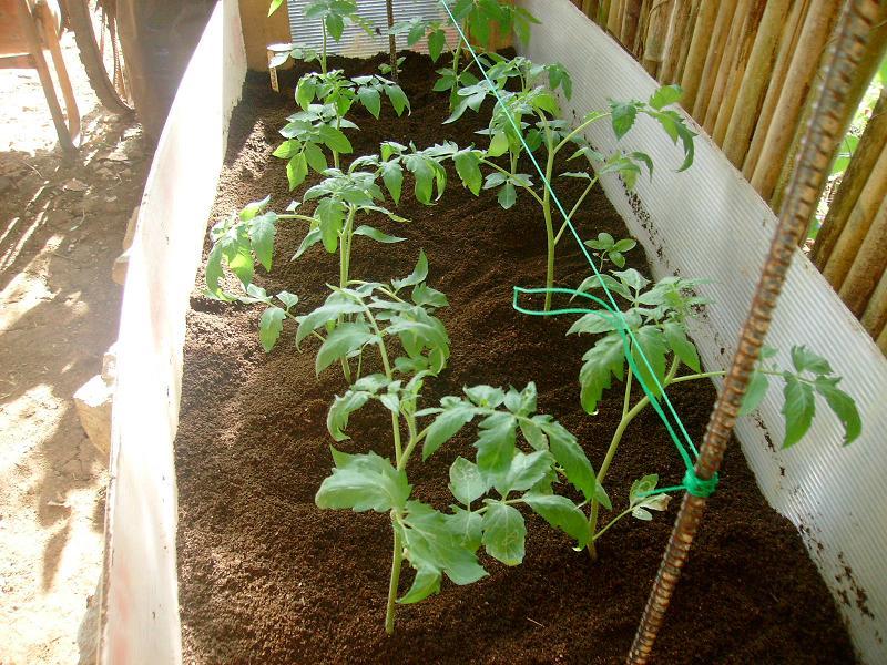 tomatos wilting New_ma12