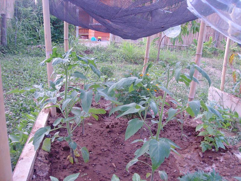 tomatos wilting Sany0011