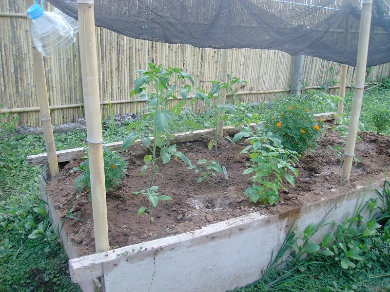 tomatos wilting Sany0012