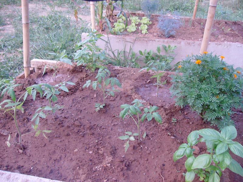 tomatos wilting Sany0013