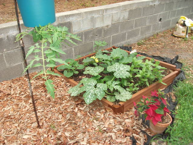 """updates on the """"pond"""" beds and regular beds Squash10"""