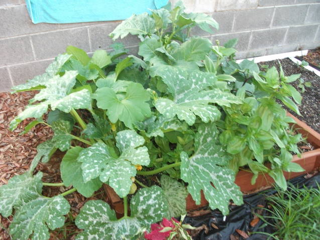"""updates on the """"pond"""" beds and regular beds Squash11"""