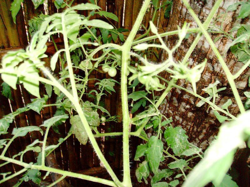 Tomato Tuesday/Asia Stuff211