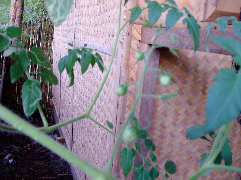 Tomato Tuesday/Asia Stuff212