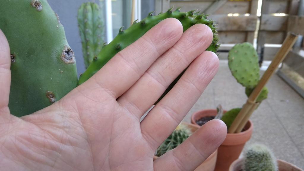 Pousses Opuntia Ficus Indica 22_jui12