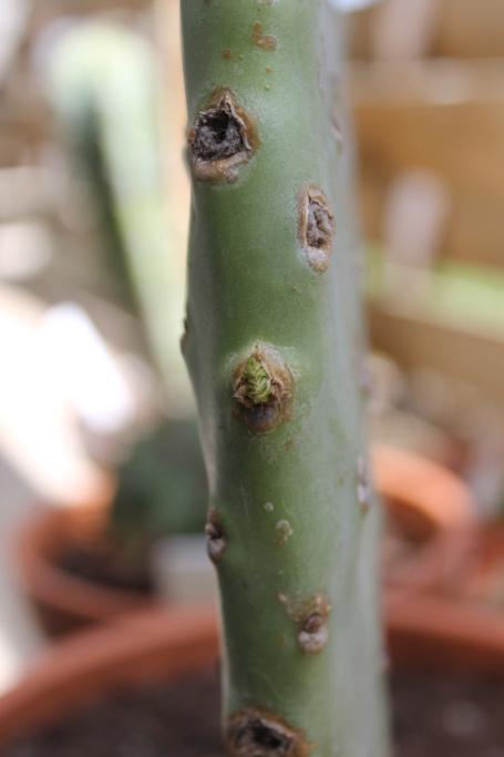 Pousses Opuntia Ficus Indica 29_jui10