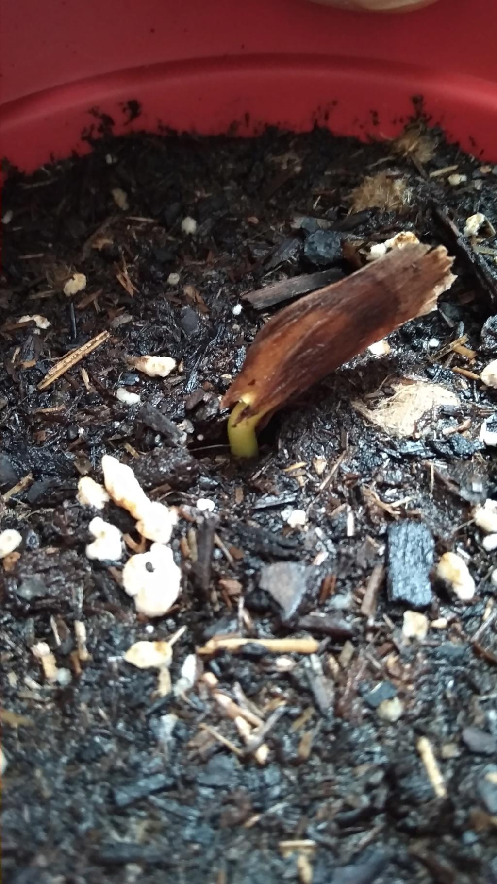 Frangipanier germination en cours 29_mai11