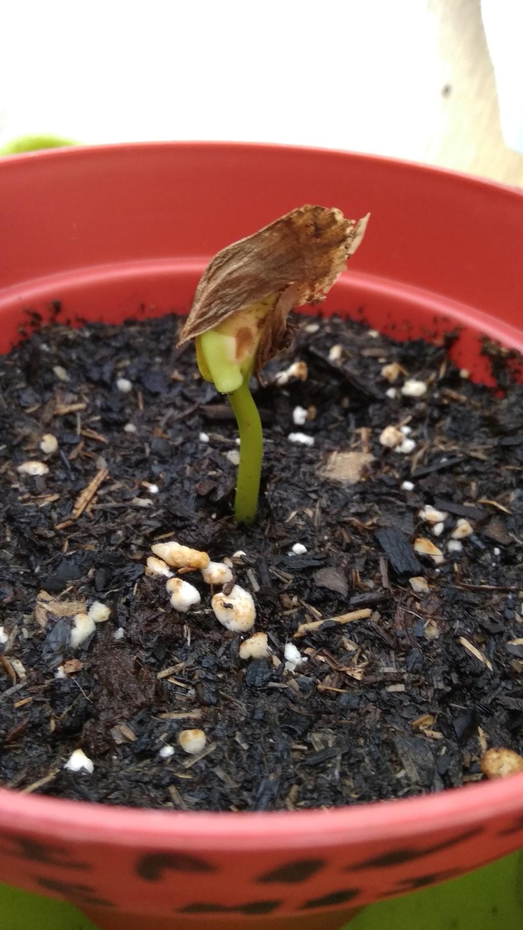 Frangipanier germination en cours 2_juin10