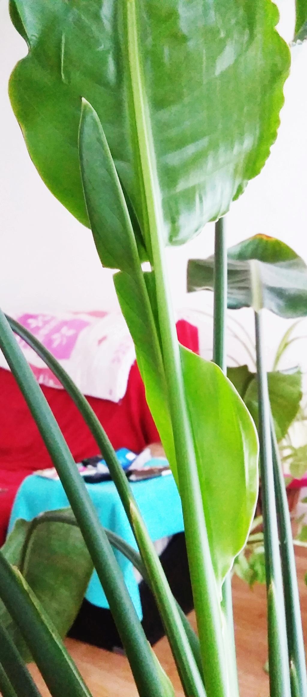 Future fleur de strelitzia ou pas??? Img_2010