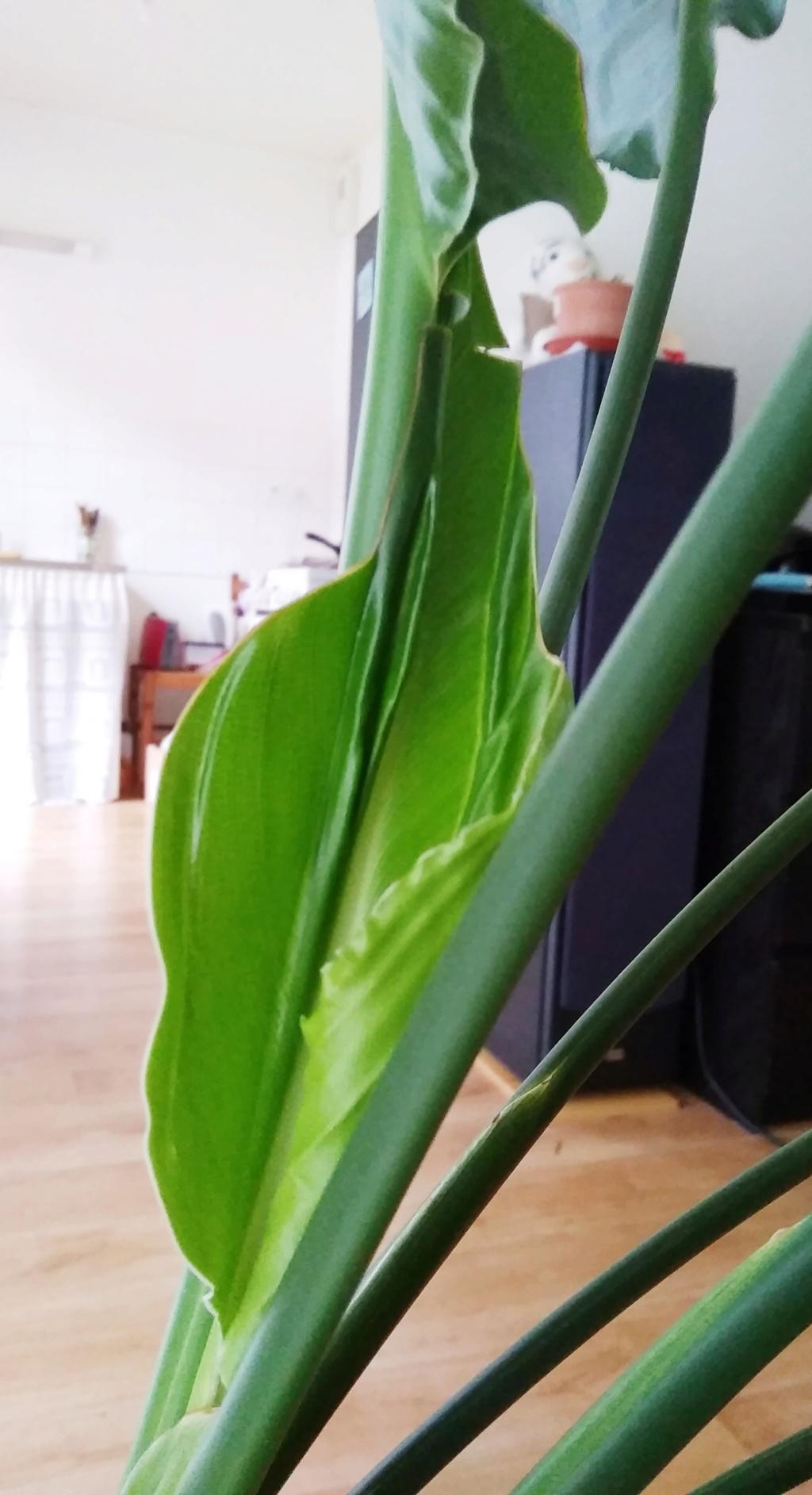 Future fleur de strelitzia ou pas??? Img_2011