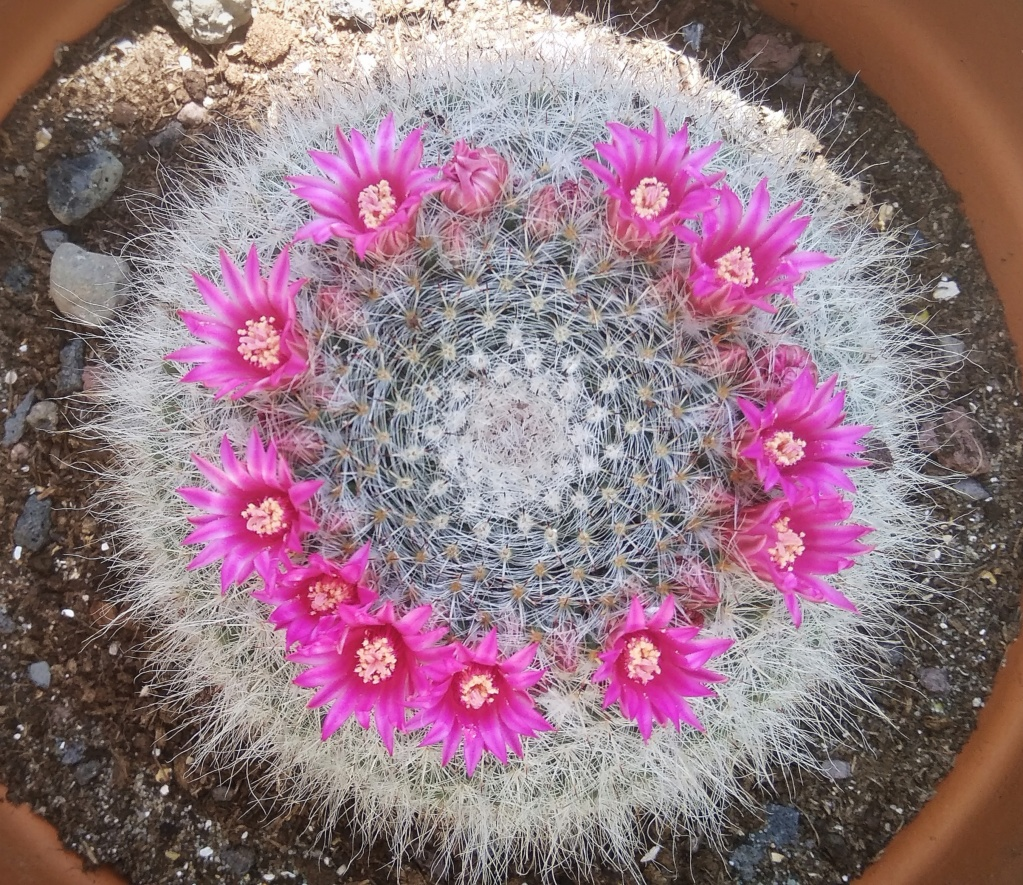 Floraison mammillaria Hahniana Img_2042
