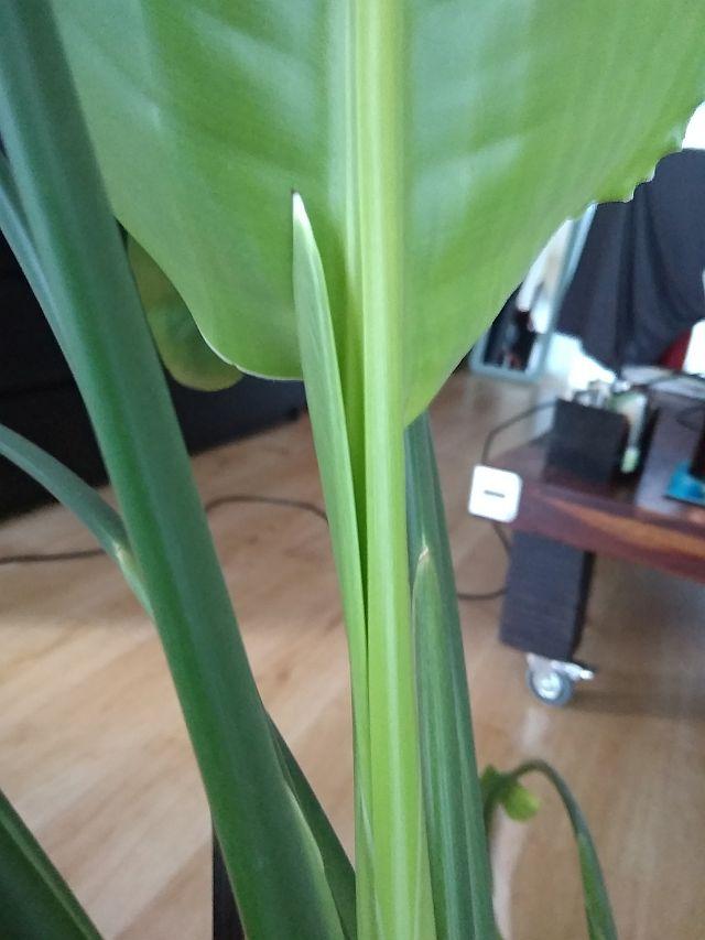 Future fleur de strelitzia ou pas??? Pousse10