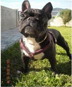 Comunidad Bulldog Francés - Portal Peque10