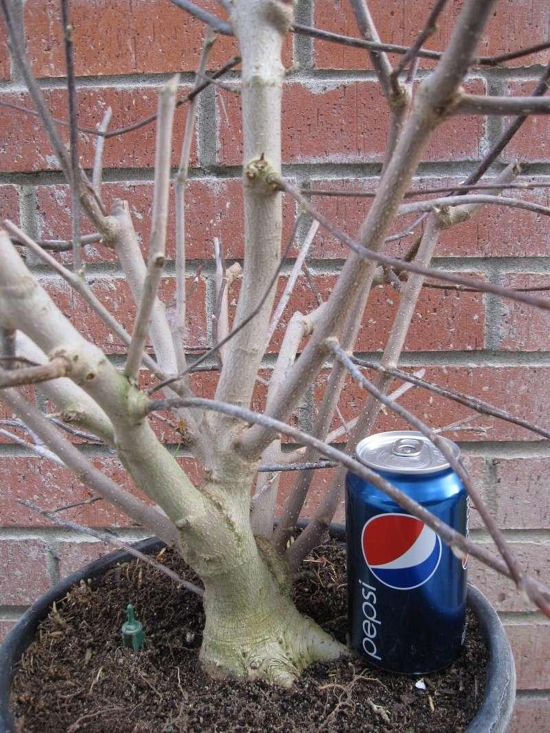 magnolia - Star Magnolia. Star_m10